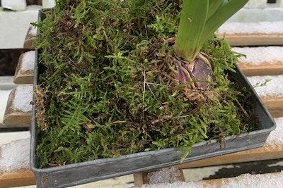 Hyacinter på zinkbakke