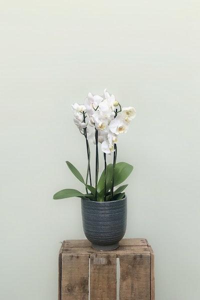 Orkide inkl. krukke