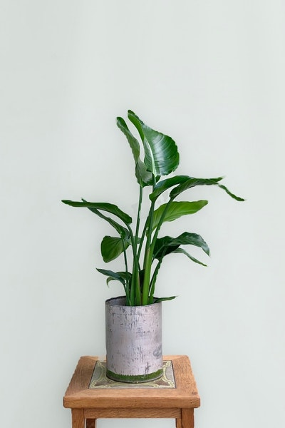 Stor grøn plante